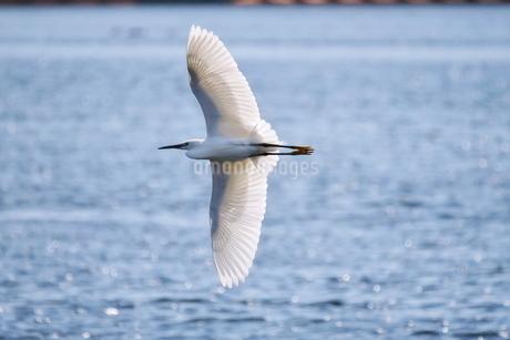 川を背景に翼を一杯に広げて飛ぶ白鷺の写真素材 [FYI02981167]