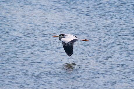 水面に近い所を飛ぶアオサギの写真素材 [FYI02981172]