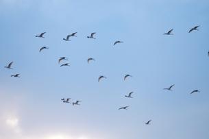 青空を背景に飛ぶ白鷺の群れの写真素材 [FYI02981173]