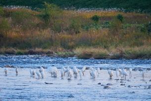 川に佇む白鷺の群れの写真素材 [FYI02981188]