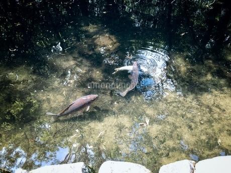瑞々しい池で泳ぐコイとフナの写真素材 [FYI02981191]