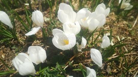 スイス ユングフラウ地方 クライネシャイディック~ヴェンゲンアルプ 高山植物 2の写真素材 [FYI02981303]