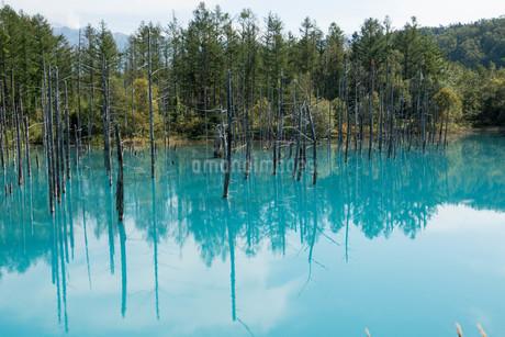 夏の青い池 美瑛町の写真素材 [FYI02981326]