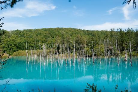 夏の青い池 美瑛町の写真素材 [FYI02981327]