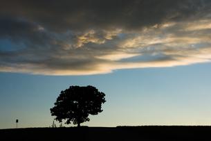 夕暮れの丘の上の大きな木のシルエット 美瑛町の写真素材 [FYI02981329]