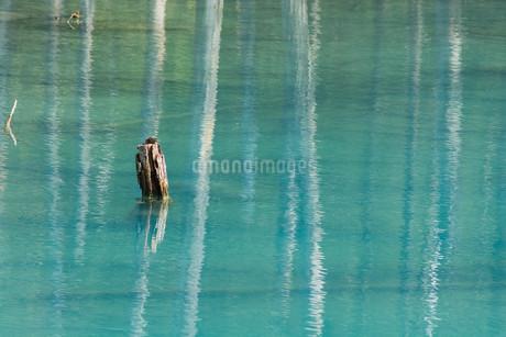 夏の青い池 美瑛町の写真素材 [FYI02981359]