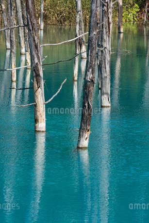 夏の青い池 美瑛町の写真素材 [FYI02981364]