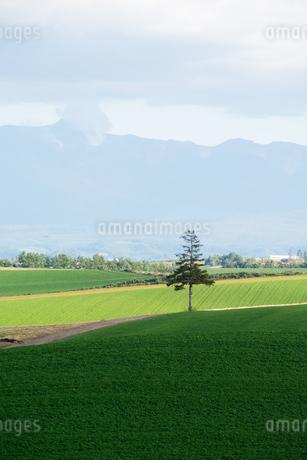 緑の竹に立つマツの木 美瑛町の写真素材 [FYI02981368]
