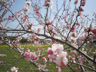 梅の花の写真素材 [FYI02981465]