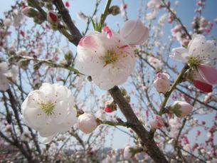 梅の花の写真素材 [FYI02981466]