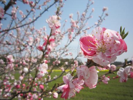 梅の花の写真素材 [FYI02981735]