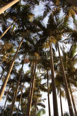 夕暮れ前のヤシの木々を見上げるの写真素材 [FYI02981821]