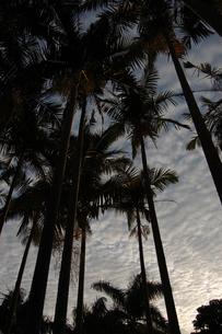 夕暮れのヤシの木々を見上げるの写真素材 [FYI02981824]