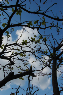 青空の空と木々を見上げるの写真素材 [FYI02981827]