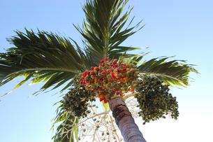 南国沖縄のカラフルなヤシの木の実の写真素材 [FYI02981844]