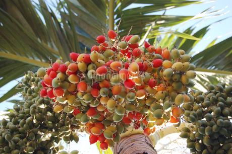 南国沖縄のカラフルなヤシの木の実の写真素材 [FYI02981845]