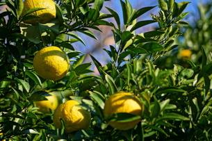 柑橘類フルーツのイメージの写真素材 [FYI02981923]