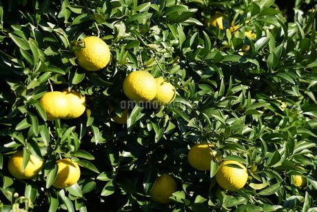 柑橘類フルーツのイメージの写真素材 [FYI02981932]