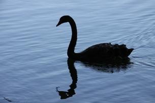 サンパウロの公園に棲息する黒鳥の写真素材 [FYI02982173]