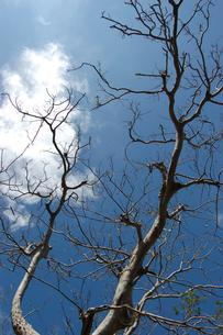快晴の空と枯れた木々の写真素材 [FYI02982175]