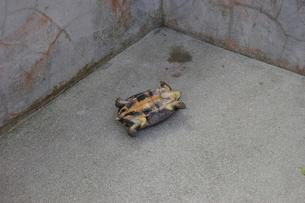 ひっくり返った亀の写真素材 [FYI02982182]