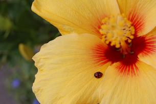 黄色いハイビスカスにてんとう虫の写真素材 [FYI02982185]