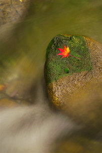 せせらぎの石の上に落ちた一枚のモミジの葉の写真素材 [FYI02982275]