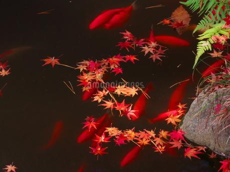 庭園の池に住む鯉と落ち葉の写真素材 [FYI02982286]