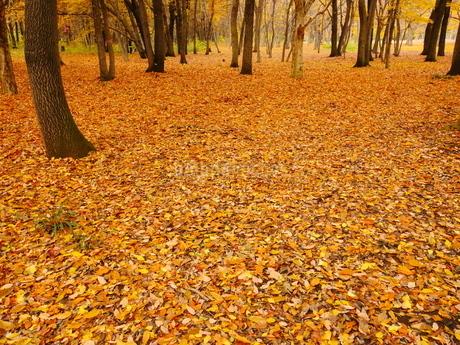 厚く堆積した森の落ち葉の写真素材 [FYI02982290]