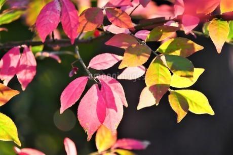 色とりどりに紅葉したニシキギの写真素材 [FYI02982297]