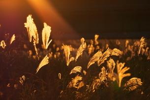 夕映えのススキ原の写真素材 [FYI02982301]
