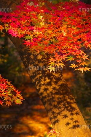 紅葉したモミジの葉とその影の写真素材 [FYI02982307]