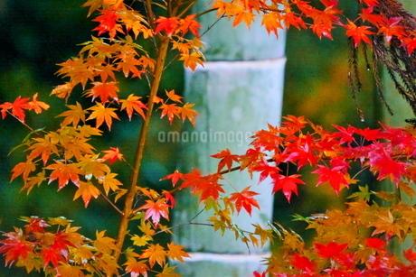 竹と紅葉したモミジの写真素材 [FYI02982309]