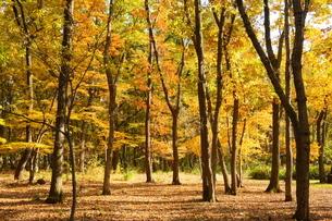 紅葉(黄葉)の雑木林の写真素材 [FYI02982310]