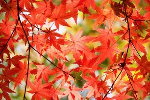 紅葉したモミジの葉の写真素材 [FYI02982318]