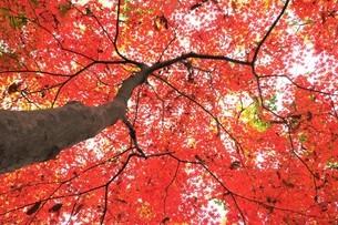 下から見上げた紅葉したモミジ木の写真素材 [FYI02982322]