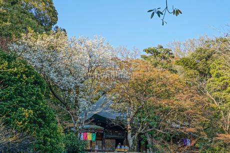 調布市深大寺の桜と街並みの写真素材 [FYI02982401]