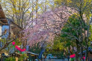 調布市深大寺の桜と街並みの写真素材 [FYI02982402]