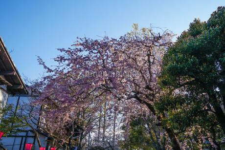 調布市深大寺の桜と街並みの写真素材 [FYI02982404]
