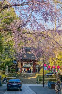 調布市深大寺の桜と街並みの写真素材 [FYI02982405]