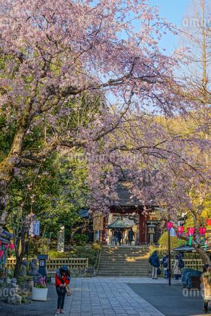 調布市深大寺の桜と街並みの写真素材 [FYI02982408]