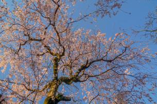 調布市深大寺の桜と街並みの写真素材 [FYI02982410]