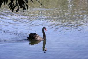 サンパウロの公園に棲息する黒鳥の写真素材 [FYI02982477]