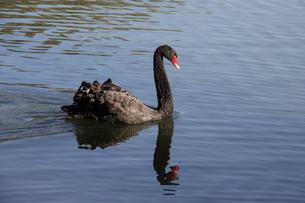 サンパウロの公園に棲息する黒鳥の写真素材 [FYI02982487]
