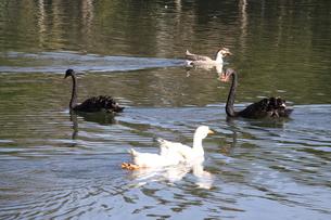 サンパウロの公園に棲息する黒鳥たちの写真素材 [FYI02982496]