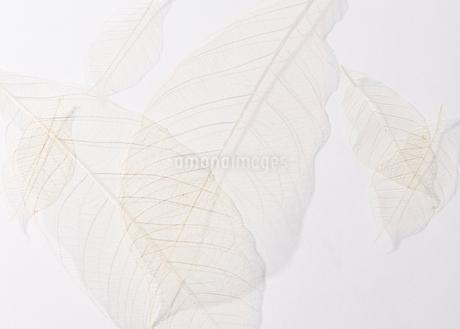 葉の写真素材 [FYI02982664]