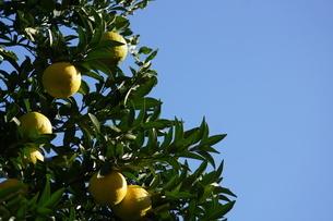 柑橘類フルーツのイメージの写真素材 [FYI02982731]