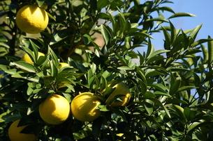 柑橘類フルーツのイメージの写真素材 [FYI02982739]