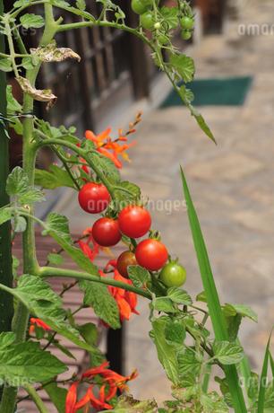 トマトの写真素材 [FYI02982831]