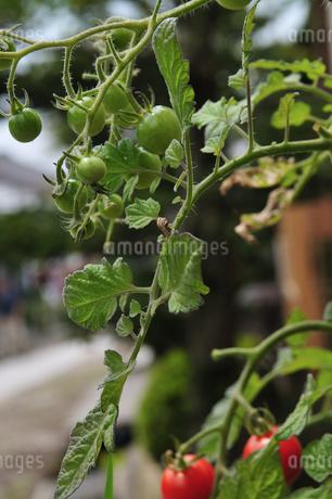 トマトの写真素材 [FYI02982832]